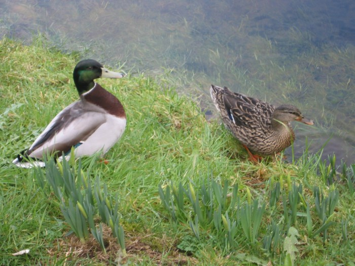 Hello Mrs Duck